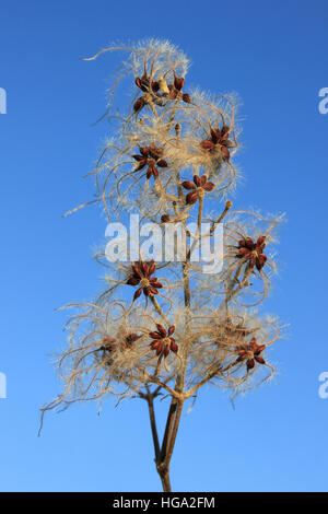 Seed Head of Old Man's Beard a.k.a. Traveller's Joy Clematis vitalba - Stock Photo