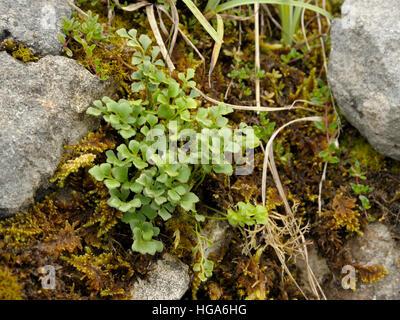 Wall-rue, Asplenium ruta-muraria on rocks - Stock Photo
