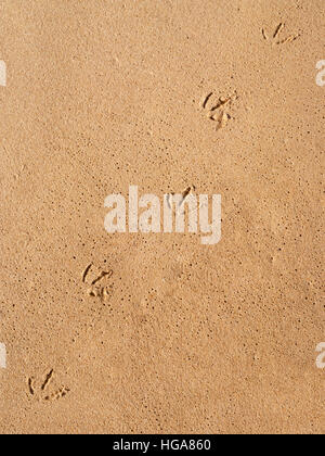 Close up of a seagull footprints track on the wet beach sand with perspective