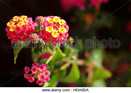 Lantana camara, also known as big sage, wild sage, red sage, white sage and tickberry. - Stock Photo