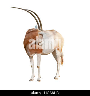 Scimitar Oryx or Ory Dammah grooming isolated on white background cut out. - Stock Photo