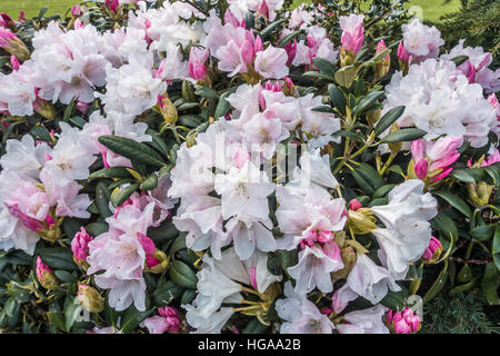 A macr shot of a white and pink Rhododendron bush. - Stock Photo
