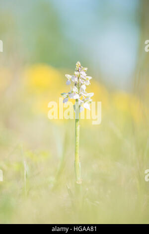 Green-winged orchid (Anacamptis morio), Lobau, Danube-Auen National Park, Vienna, Austria - Stock Photo
