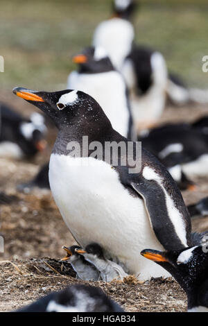 Gentoo Penguin on Sealion Island in the Falklands - Stock Photo