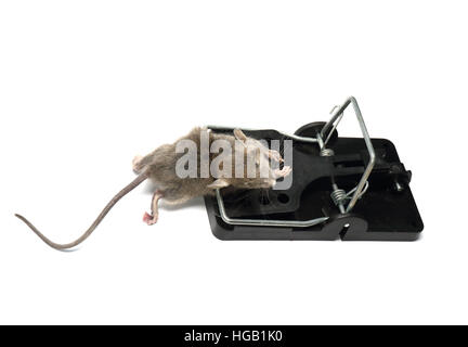 House mouse, mus musculus, caught and killed in a spring trap. Photographed on a white background and prepared for - Stock Photo