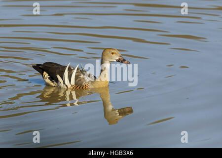 Plumed Whistling Duck Dendrocygna eytoni Atherton Tablelands Queensland, Australia BI030019 - Stock Photo