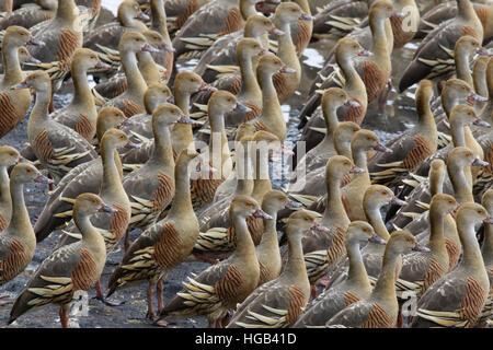 Plumed Whistling Duck - dense flock Dendrocygna eytoni Atherton Tablelands Queensland, Australia BI030050 - Stock Photo