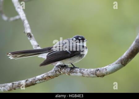 Grey Fantail Rhipidura albiscapa Lamington National Park Queensland, Australia BI030123 - Stock Photo