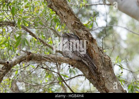 Tawny Frogmouth - at daytime roost Podargus strigoides Brisbane Queensland, Australia BI030139 - Stock Photo