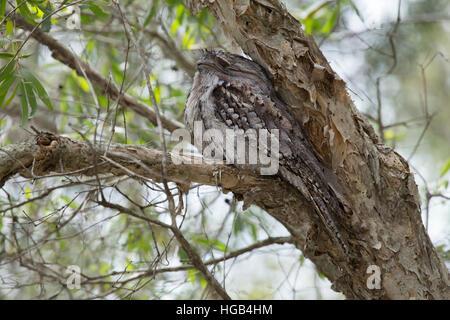 Tawny Frogmouth - at daytime roost Podargus strigoides Brisbane Queensland, Australia BI030140 - Stock Photo