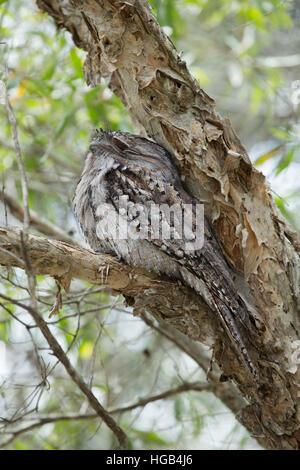 Tawny Frogmouth - at daytime roost Podargus strigoides Brisbane Queensland, Australia BI030142 - Stock Photo