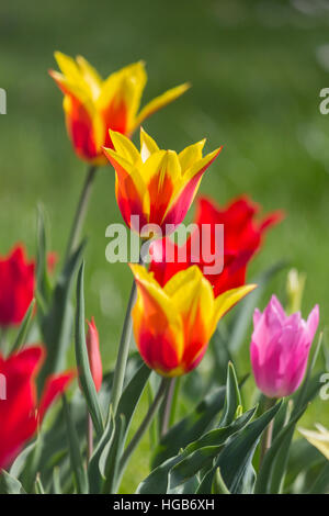 Colorful red and yellow tulips lighted sun on green background. - Stock Photo