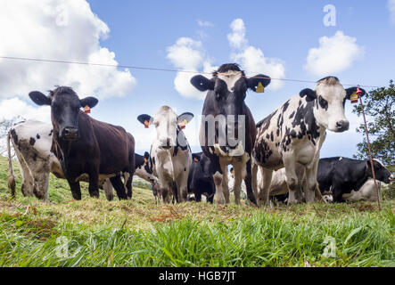 Cows behind an Electric Fence. A small herd of Holstein cattle gathers in a field behind a single strand electric - Stock Photo