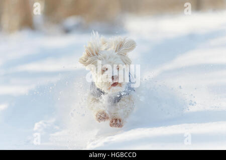White havanese dog running in the snow and playing in winter - Stock Photo