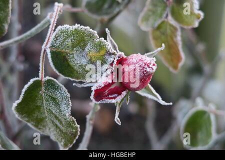 Hardy gardener - frozen rose - Stock Photo