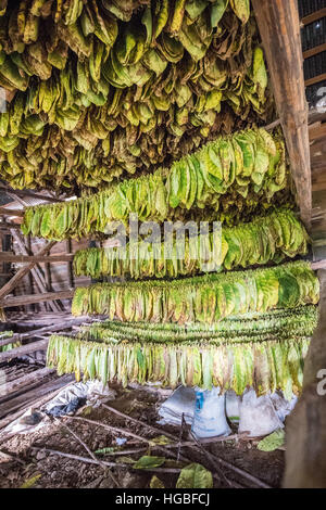 Tobacco Leaves Drying in Barn, Vinales, Cuba - Stock Photo