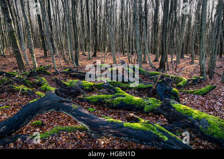 Forest in winter, moss and leaves on dead trees, tree branches, tree trunks, - Stock Photo