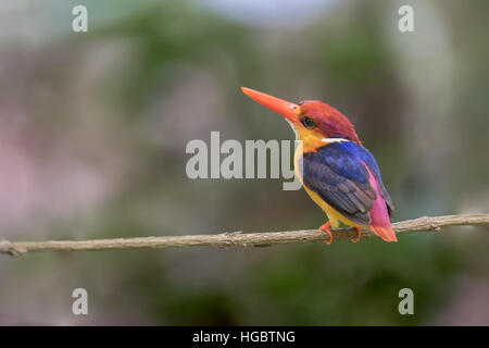 The Oriental Dwarf Kingfisher (Ceyx erithaca) also known as the Black-backed Kingfisher or Three-toed Kingfisher - Stock Photo
