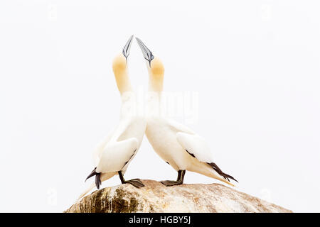Northern Gannet (Morus bassanus) adult pair, displaying, standing on rock, Great Saltee, Saltee Islands, Ireland - Stock Photo