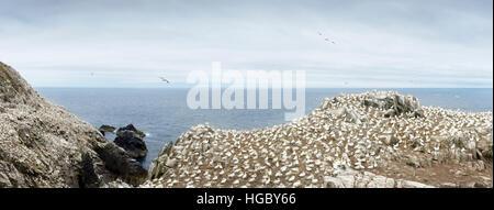 Panorama of Northern Gannet (Morus bassanus) colony, in flight and nesting on cliffs, Saltee Islands, Ireland - Stock Photo
