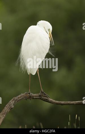 Great White Egret (Egretta alba) preening its soft feathers - Stock Photo