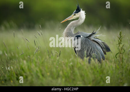 Grey heron (Ardea cinerea) displaying during mating season - Stock Photo