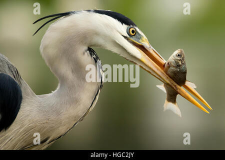 Grey heron (Ardea cinerea) catching a fish - Stock Photo
