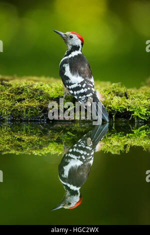 Middle spotted woodpecker (Dendrocopos medius) reflection - Stock Photo