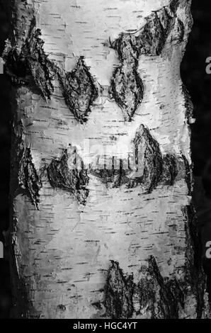 Birch tree in black and white with deep grooves and texture - Stock Photo