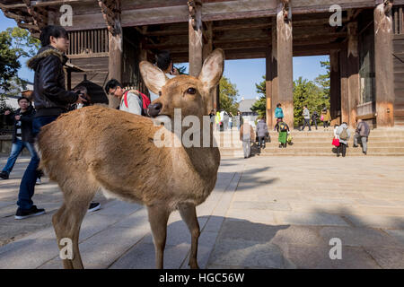 Nara, DEC 17: Deer in front of the famous and historical TodaiJi in Nara Park on DEC 17, 2016 at Nara, Japan - Stock Photo
