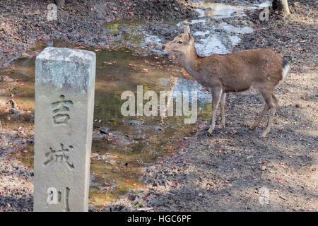 Deer and the famous and historical TodaiJi in Nara Park Nara, Japan - Stock Photo