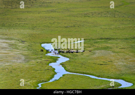 Horses and cattle in the grassland near Khatgal. - Stock Photo