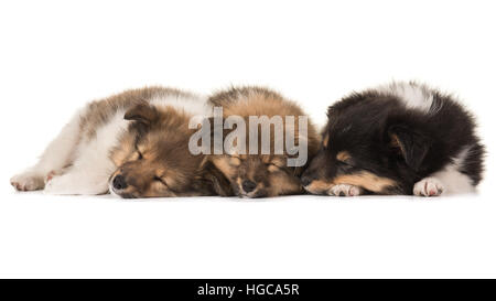 Three cute sleeping shetland sheepdog puppies lying netxt to eachother isolated on a white background - Stock Photo