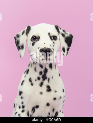 Cute dalmatian puppy portrait facing the camera on a pink background - Stock Photo