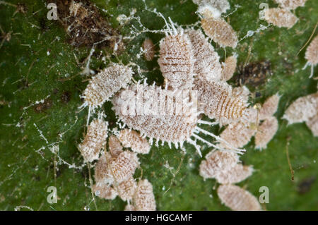 A group of glasshouse or tuber mealybugs, Pseudococcus viburni, on the stem of a house plant - Stock Photo