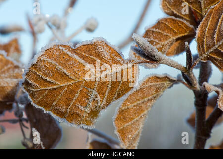 Hard frost on golden brown beech leaves on a cold winter morning in December - Stock Photo