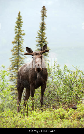 Young bull moose, in summer rainstorm, Alaska.. - Stock Photo