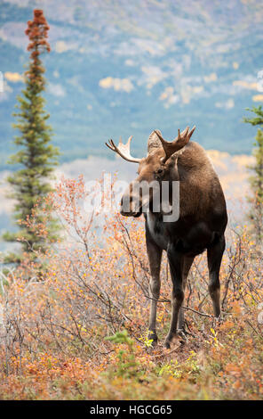 Young bull moose, autumn Alaska. - Stock Photo
