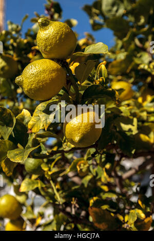 Lemons ripen on a lemon tree in an orchard in summer in Southern California - Stock Photo