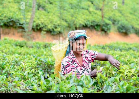 Tamil woman from Sri Lanka breaks tea leaves - Stock Photo