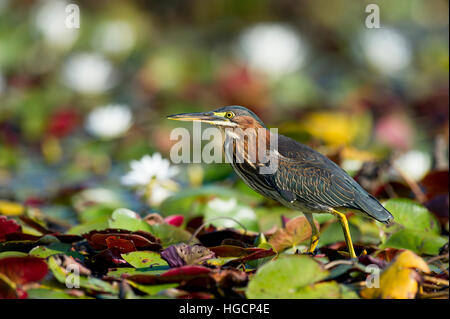 A Green Heron walks across the bright green lilly pads on a sunny day. Stock Photo