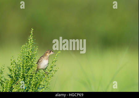 A Seaside Sparrow perches on a green bush on a bright sunny day with a smooth green background. - Stock Photo