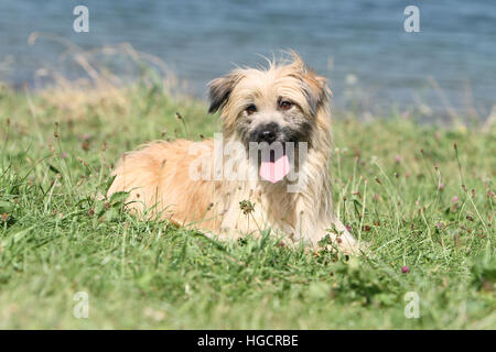 Dog Pyrenean Shepherd fawn adult lying  in a meadow front of a lake - Stock Photo