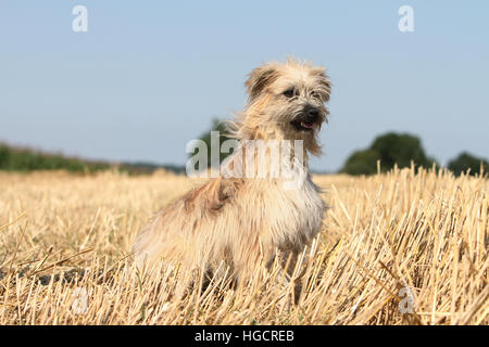 Dog Pyrenean Shepherd adult sitting In a straw field profile  fawn - Stock Photo
