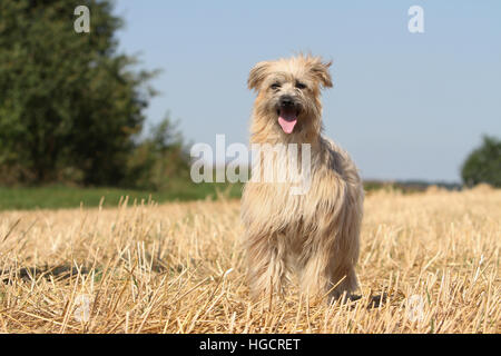 Dog Pyrenean Shepherd adult standing In a straw field face fawn - Stock Photo