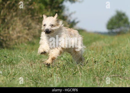 Dog Pyrenean Shepherd adult adults fawn in a meadow running  face - Stock Photo