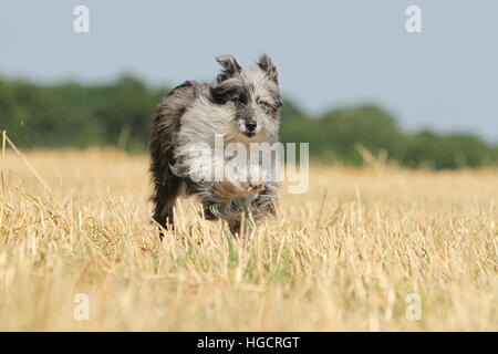 Dog Pyrenean Shepherd adult blue merle running In a straw field face - Stock Photo