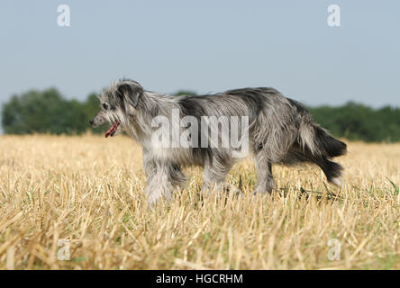Dog Pyrenean Shepherd adult blue merle running In a straw field profile - Stock Photo