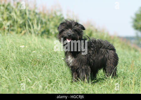 Dog Pyrenean Shepherd adult adults standing in a meadow black face - Stock Photo