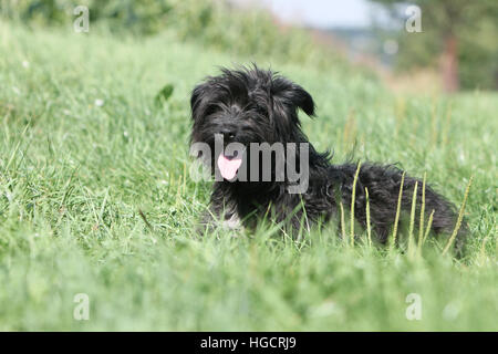 Dog Pyrenean Shepherd adult adults lying in a meadow black face - Stock Photo